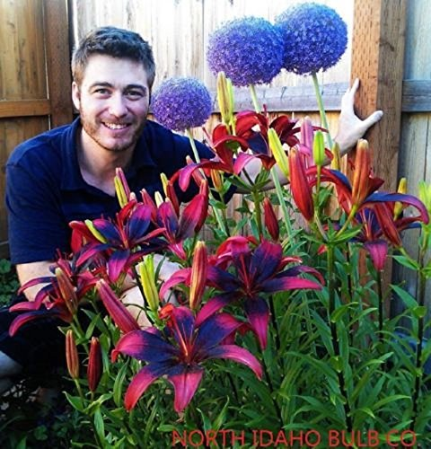 5 Bulbs Of TANGO LILY~RED & BLACK~FLOWER BULBS 42'' by BSSTORE