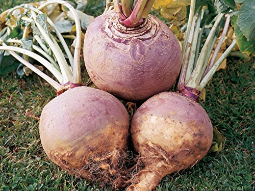 American Purple Top (Rutabaga Seeds, American Purple Top, NON-GMO, Variety Sizes 720k)