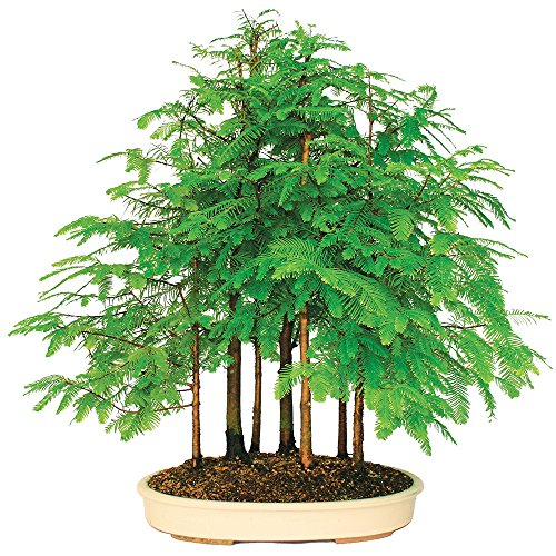 Brussel's Dawn Redwood Grove Bonsai – XXX Large – (Outdoor) Review
