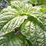 2018 Hot Sale!! Maslin Mammoth Basil Seeds, 20 Seeds, Featuring Extra Large Lettuce-Like Leaves with Exceptional Flavor E4231