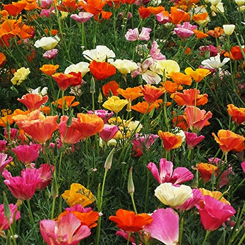 California Poppy Mission Bells - Mission Bells - California Poppy Mix Seeds - .3 Oz.- Approximately 5,000 Seeds - Non GMO and Neonicotinoid Seed