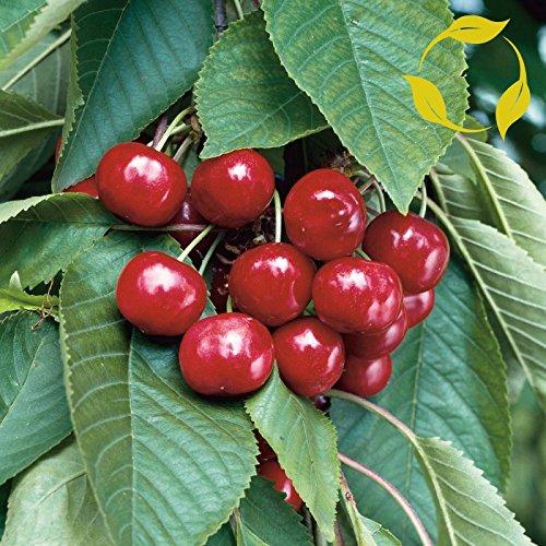 (Sweet Cherry Prunus Avium 5 Seeds)