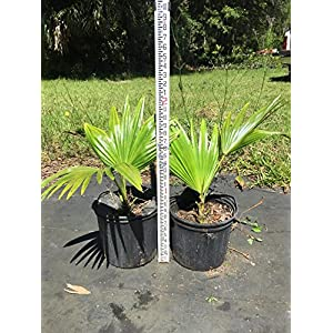 Livistona Chinensis Chinese Fan Palm cold hardy