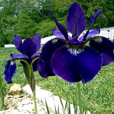 25 Seeds of Iris Sibirica - Siberian Iris 'Ceasar's Brother' Award Winner! Tall Intense velverty Purple/Violet Blooms! : Garden & Outdoor