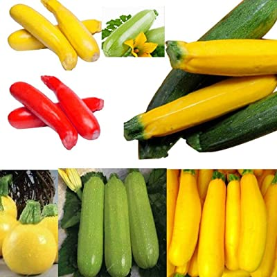 Oguine Organic Heirloom Zucchini Seeds Zucchini Summer Squash Seeds for Planting Vegetable Seeds for Planting Balcony Garden Seeds : Garden & Outdoor