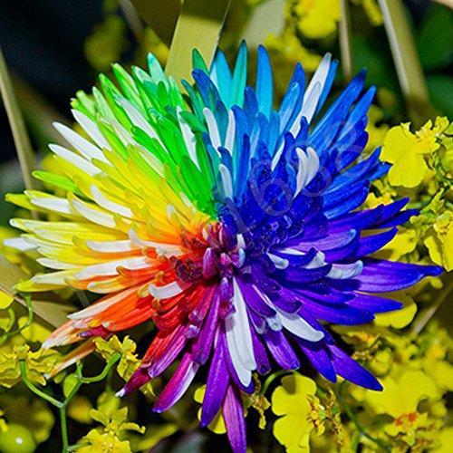 Yosa 100 Rainbow Chrysanthemum Flowers Livingstone Daisy Seeds Color Garden - Livingstone Garden