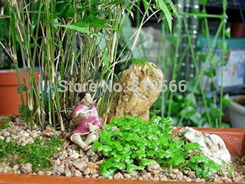 Semillas Trifolium Linn hierba verde jardín al aire libre con plantas verdes interior del hogar del agua del jardín de rocalla bonsái patio 300 Sementes: Amazon.es: Jardín
