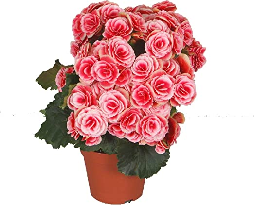 Piante Da Appartamento Begonia.Pianta Vera Fiorita Da Interno Begonia Rosa Pink Lady Con Fiore