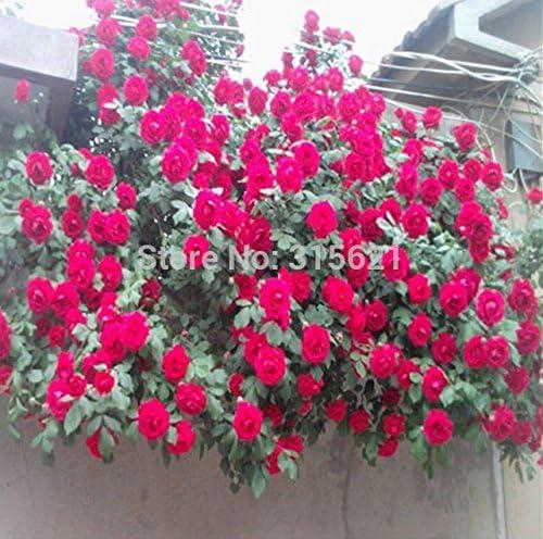 Planta trepadora roja Polyantha semillas color de rosa del jardín de DIY Patio de la maceta del envío 100PCS: Amazon.es: Jardín