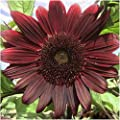 Package of 50 Seeds, Black Beauty Sunflower (Helianthus annuus) Non-GMO Seeds by Seed Needs