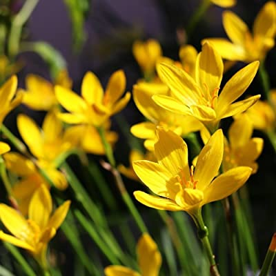 HUANGRU Yellow Rain Lily Bulbs Zephyr Lilies - Zephyranthes Suphurea - 12 Large Flower Bulbs: Garden & Outdoor