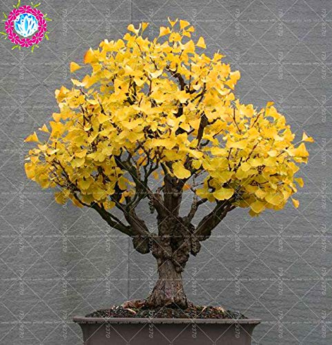 (Ancient Greecs Ginkgo Biloba 5PCS Rare Golden Yellow Potted Ginkgo Biloba Bonsai Magical Ancient Foliage Plants for Home Planting Easy to Grow)