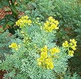 Earthcare Seeds Rue 150 Seeds (Ruta Graveolens)