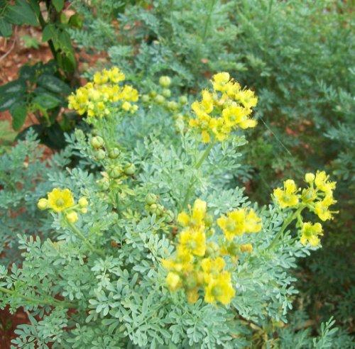 (Earthcare Seeds Rue 150 Seeds (Ruta Graveolens))