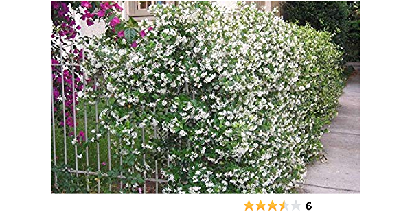 Trachelospermum Star of Toscane Evergreen Star Jasmine with Yellow Scented Flowers Climbing Plant 1 Litre Pot Free DELIVERY
