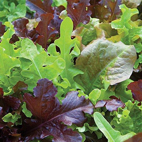 Lettuce Seed Burpee (Burpee Gourmet Blend Lettuce Seeds 1100 seeds)