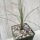 Dasylirion Parrayanum Graminifolium Cactus Cacti Real Live Succulent Plant