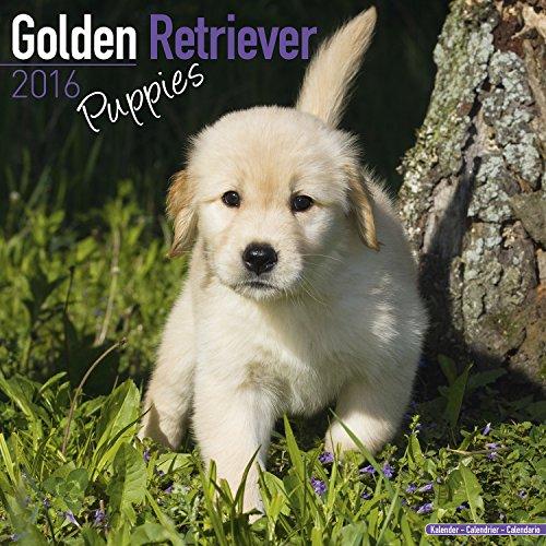 Golden Retriever Puppies Calendar - Only Dog Breed Golden Retriever Puppies Calendar - 2016 Wall calendars - Dog Calendars - Monthly Wall Calendar by Avonside