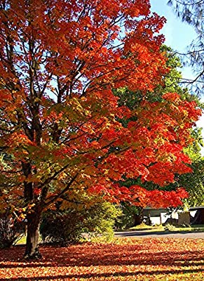 Sugar Maple, Acer Saccharum (Northern), 20 Tree Seeds, Fall Colors!