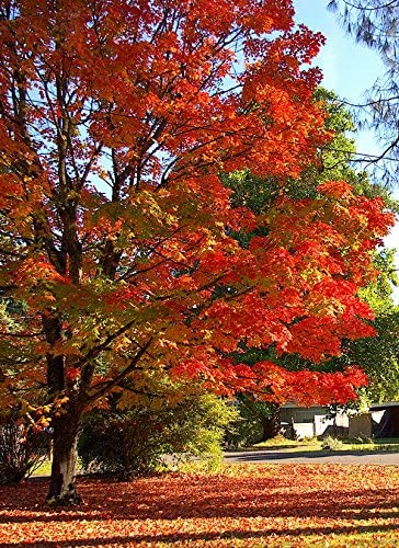 25 Seed SUGAR MAPLE SYRUP TREE Native Rock Fall Color-Acer-Saccharum