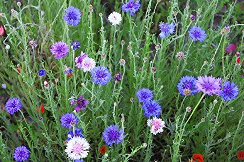 Cornflower, bachelor?s button - perennial variety mix - seeds