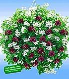 baldur garten h nge petunien viva prachtmix 12 pflanzen petunia gef llte gro blumige. Black Bedroom Furniture Sets. Home Design Ideas