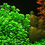 4 Moneywort Bunches - Aquarium Live Plant - 7-9 stems