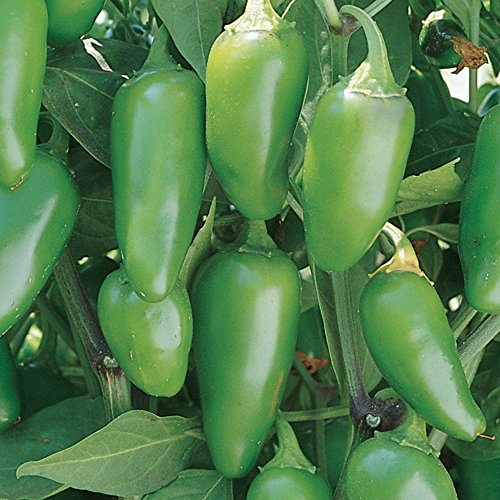 Burpee Jalapeno Early Hot Pepper Seeds 125 seeds