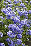 Plumbago A. 'Royal Cape' Live Plant Shrubs Plant Fit 02 Gallon Pot