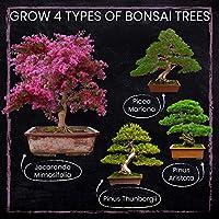 GROW YOUR OWN BONSAI FROM SEEDS 5 SEEDS 5 WILD CHERRY BONSAI SEEDS