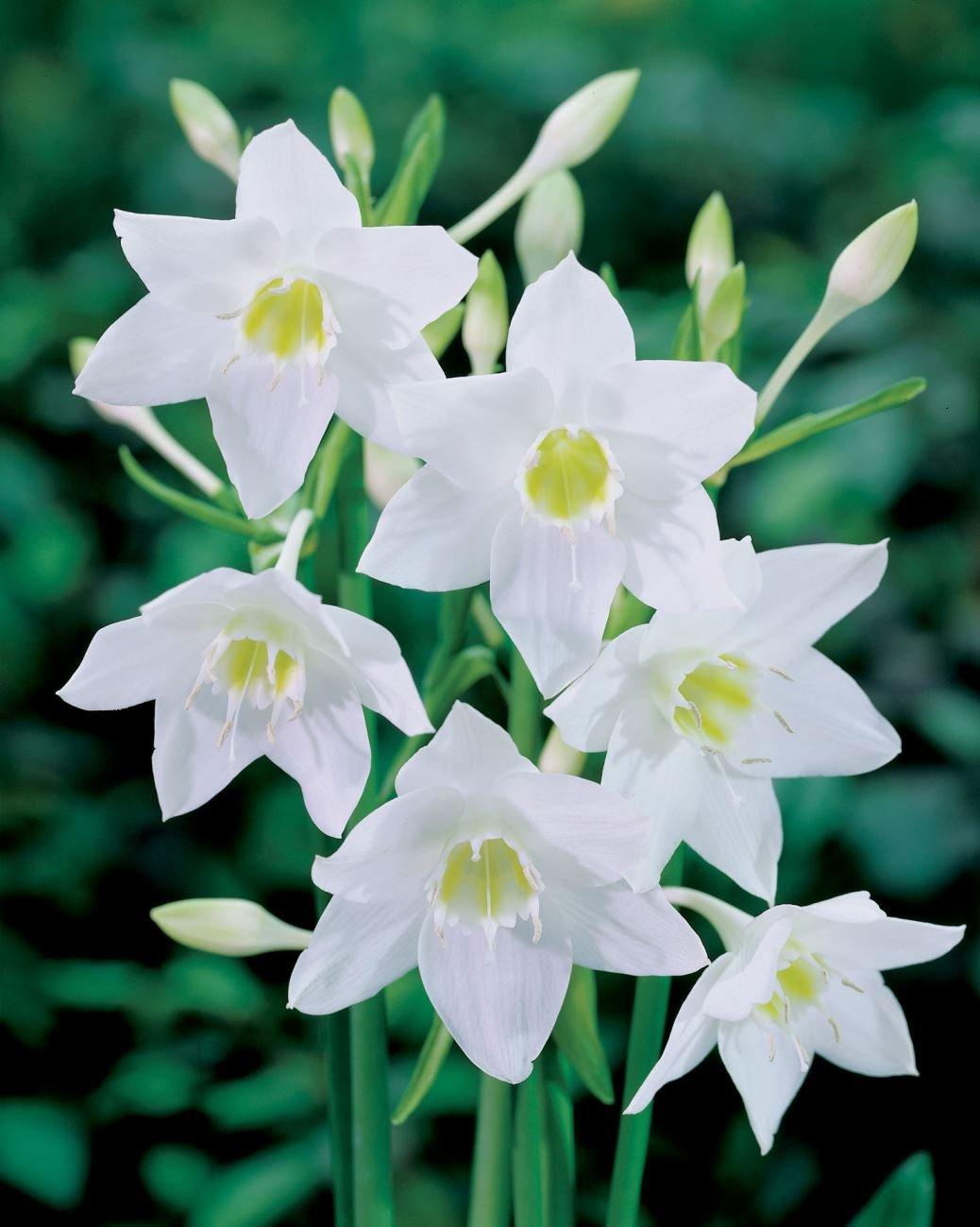 Lily Lily//Eucharis ica Eucharis ica bulbo//tub/érculo // ra/íz