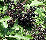 Adams Elderberry - Tree - Shrub - Fruit - Established Roots - 1 Plant in 2 Gallon Pot by Growers Solution