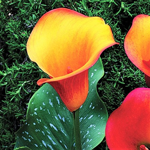 Black Calla Lily Odessa (3 BULBS - Not Just Seeds!) Zantedeschia Tubers - GORGEOUS! by EGBULBS (Image #3)