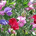 Earthcare Seeds Fragrant Sweet Pea 100 Seeds Royal Family (Lathyrus odoratus)