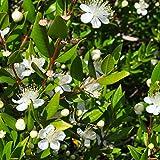 Myrtle seeds - Myrtus communis