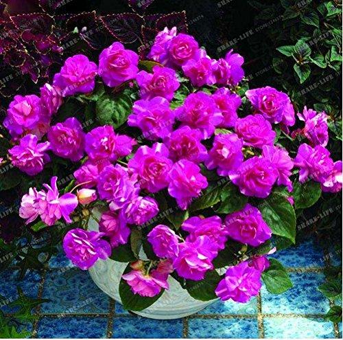 NewPink Univalve Geranium Plant Easy Grow Potted Flower Pelargonium for Indoor Rooms 100+ PCS Seeds (Flowering Plants Indoor)