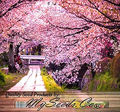4 Packs x 8 JAPANESE SAKURA FLOWERING CHERRY Tree Seed - Prunus serrulata Seeds - Cherry Blossom - Zones 5 - 8 - By MySeeds.Co