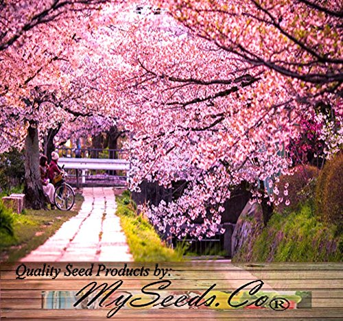 10 japanese cherry tree pink cloud oriental sweet prunus serrulata 10 japanese cherry tree pink cloud oriental sweet prunus serrulata flower seeds buy online in kuwait seedville products in kuwait see prices mightylinksfo