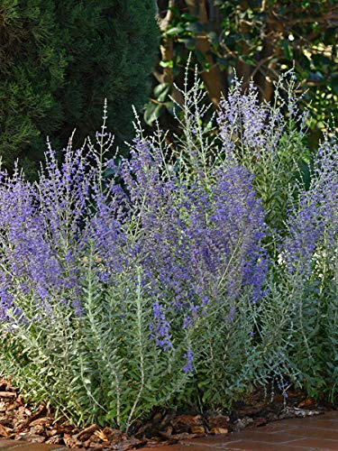 Perennial Farm Marketplace Perovskia a. 'Blue Steel' ((Russian Sage) Perennial, Size-#1 Container, Silvery Green Foliage with Lavender-Purple -