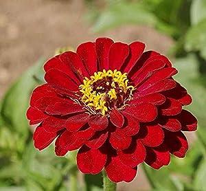 David's Garden Seeds Flower Zinnia Solid Color Meteor 1163 (Burgundy) 500 Non-GMO, Heirloom Seeds