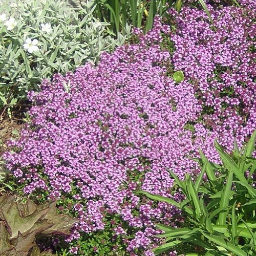 Earthcare Seeds Ecct1xts Earthcare Seeds Creeping Thyme
