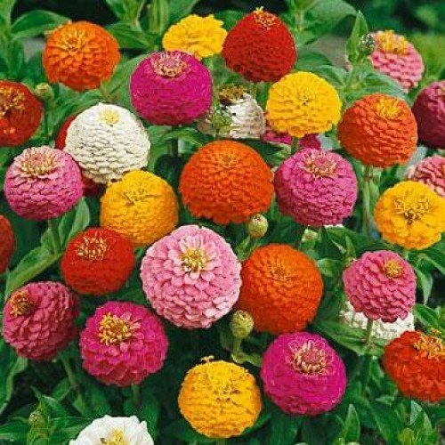 e plant zinnia mix flower seeds pack of 50