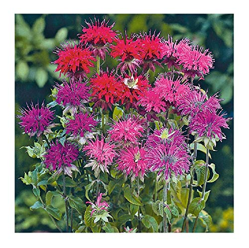David's Garden Seeds Flower Bee Balm Panorama Mix SL9088 (Purplish) 100 Non-GMO, Open Pollinated Seeds ()