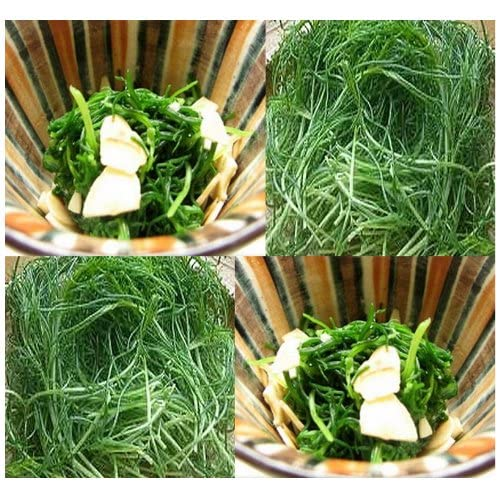 Saltwort Seed - Salsola komarovii - EXOTIC JAPANESE SEAWEED Plant Seeds ~ PRIZED Okahijiki GREAT FOR SUSHI OR JAPANESE CUISINE - Raw Or Cooked (0060 Seeds - 60 Seeds - Pkt. Size)