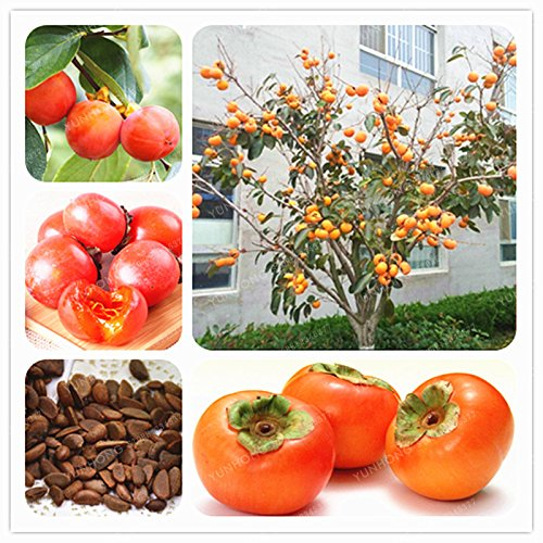 (20 Pcs Japanese Persimmon Fruit Tree Seeds Non-GMO Fruit Seeds Home Garden Plant Diospyros Kaki Seeds)
