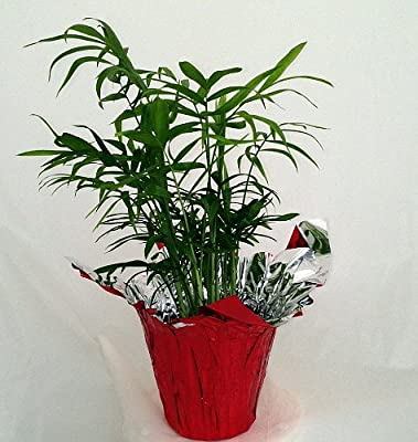 """Hirt's Victorian Parlor Palm - Chamaedorea - 4"""" Pot - Decorative Pot Cover"""