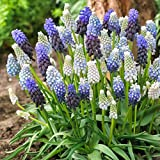 Van Zyverden Grape Hyacinth Delft Blue Blend Set of 50 bulbs