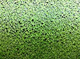 500 LIVE DUCKWEED PLANTS (LEMNA MINOR)