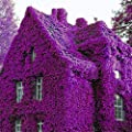 100 Seeds Perfume Rainbow Climbing Plants Coulourful Rock Cress Flower Seeds