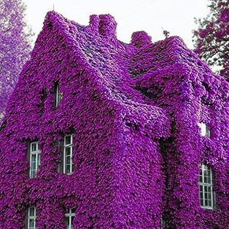 KINGDUO 100pcs Parfum Arc-en-Ciel Escalade Plantes Coulourful Rock Cress Fleurs graines-Violet